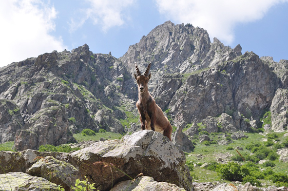 ibex favellatrice leo núi ở Ý Gran Paradiso